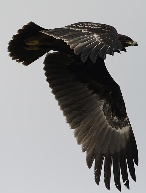 Aquila clanga 2b.jpg